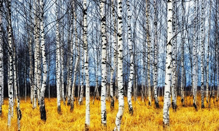 Chaga is only found on birch trees in cold climates. Shutterstock/Oleg Znamenskiy