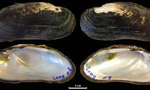 Endangered Mussel Still Harvested for Food in Laos