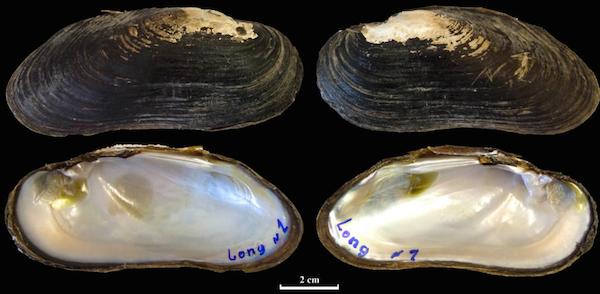 Shell of Margaritifera laosensis specimen from the river Nam Long. Photo by Bolotov et al.