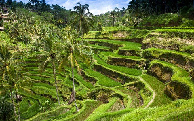 Green rice fields on Bali, Indonesia. (Shutterstock)