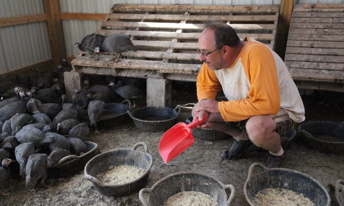 Peter Mauer feeding guinea fowl at his farm in the Catskills. (Courtesy of Mauer's Mountain Farms)
