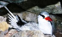Rat Eradication Needed to Save Seabird Colony