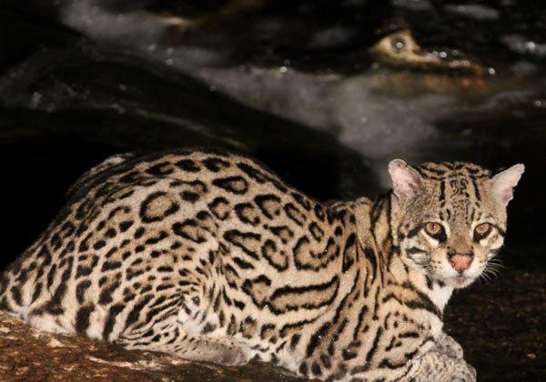Ocelot (Leopardus pardalis) in Brazil. Photo by: Leonardo Avelino Duarte.