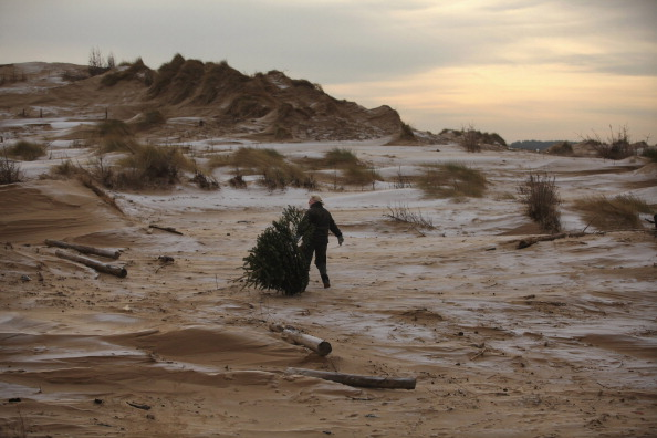 National Trust ranger Kate Martin plants recycled Christmas trees in the sand dunes of Formby Point on January 17, 2012 in Formby, England. (Photo by Christopher Furlong/Getty Images)