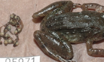 New Frog Species Has Fangs, Gives Birth to Live Tadpoles (Video)