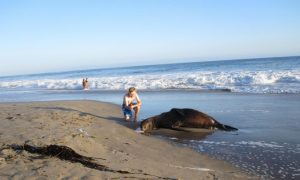 500 More Dead Sea Lions; Fukushima Radiation Continues to Spread Across Ocean