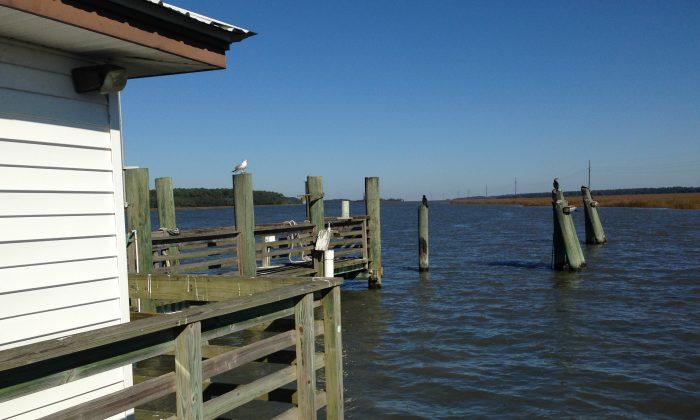 Gulls escort visitors to Sapelo Island off the coast of Georgia. (Laverne Gaskins)