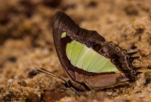 Malayan Nawab, a rare butterfly found in Gorumara National Park. Image courtesy flutters.org