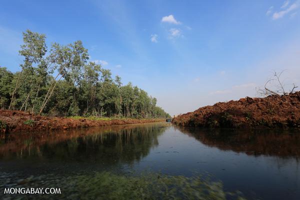 Acacia plantation on a peat soils Riau, Sumatra. Photos by Rhett A. Butler.