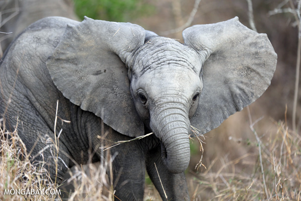 Baby elephant in South Africa. (mongabay.com)