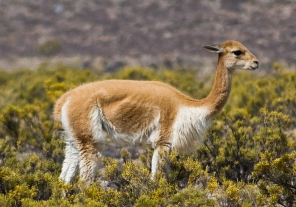 A vicuña (Vicugna vicugna), browsing at high altitude near Arequipa, Peru. Brack Egg began his conservation career with the Ministry of Agriculture supporting the conservation of the vicuña, Peru's national animal. Image courtesy of Wikimedia Commons.