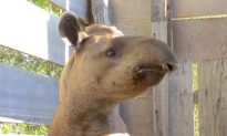 Researchers Give Low Land Tapirs A Checkup
