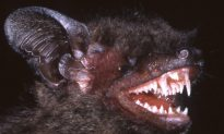 New Bat Species Has Fangs You Won't Believe
