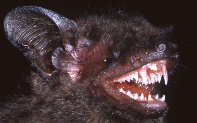 New bat, Hypsugo dolichodon, showing off its remarkable canines. (Judith L. Eger)
