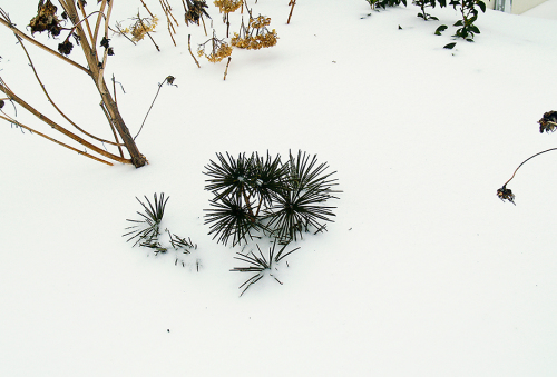 The top of a young Umbrella Pine peeks above 3 feet of snow in my flower garden. This was pretty much the scene all winter 2013-2014. (Courtesy of Todd Heft)