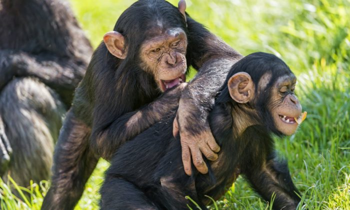 Just monkeying around. (Tambako, CC BY-ND)