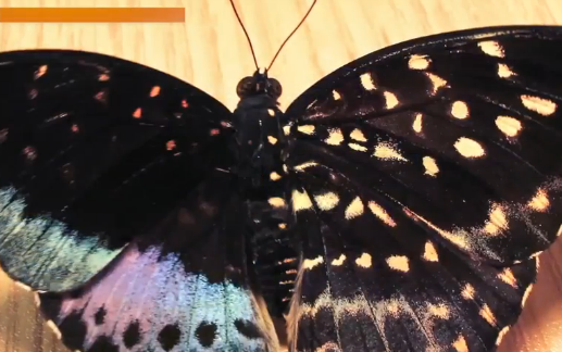Rare Half-Male, Half-Female Butterfly Discovered (Video)