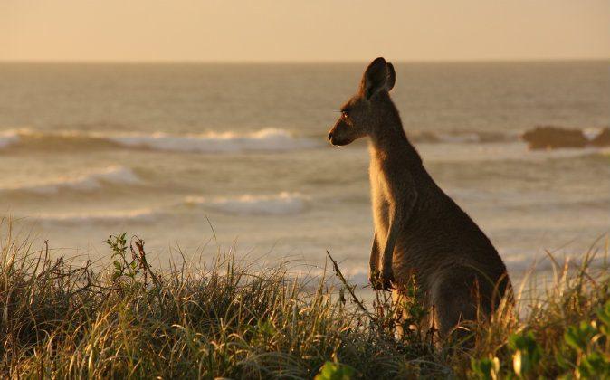 Kangaroo in dunes. (Shutterstock)