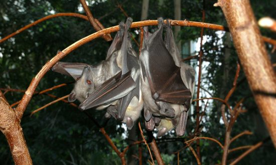 100,000 Bats Take Over Australian Town, State of Emergency Declared