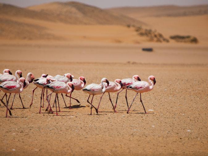 Flamingo march in Namib desert. (Shutterstock)