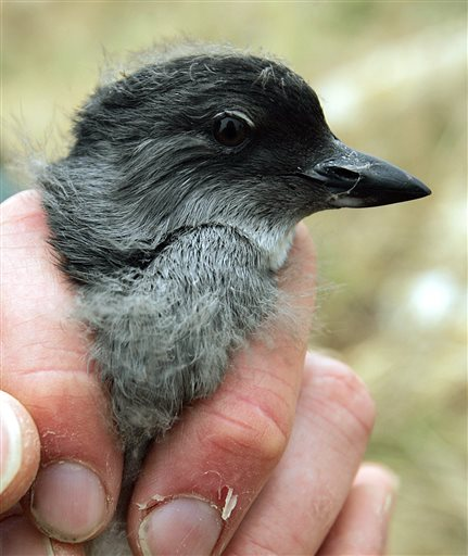 A Cassin's auklet chick (AP Photo/Ben Margot)