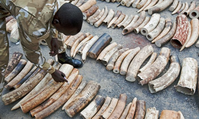 A Kenya Wildlife Service (KWS) Ranger inspects and numbers a confiscated ivory consignment at the Mombasa Port on Oct. 8, 2013. (Ivan Lieman/AFP/Getty Images)