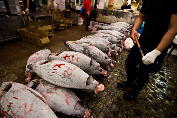Bluefin tuna. Although most bluefin tuna species have been decimated by overfishing, they are still caught. Photo by: Stewart Butterfield.