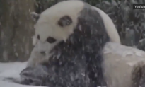 Bao Bao's First Snow Day (Video)