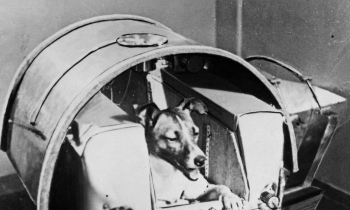 The dog Laika, the first living creature ever sent into space, aboard Sputnik II in the Soviet Union in November 1957. (OFF/AFP/Getty Images)