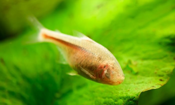 Just as the shape of a TV or radio antenna is designed to detect electromagnetic signals, the fish's canal system is like an antenna on the body surface, configured to be sensitive to pressure changes. (Shutterstock*)