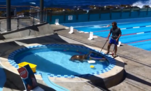 Sea Lion Goes for a Swim in Public Pool (Video)