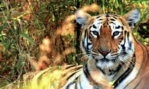 India's Tiger Population up by More Than 500 Animals in 4 Years