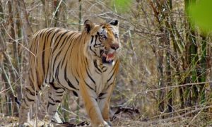 India's Tiger Numbers Rise to 2226