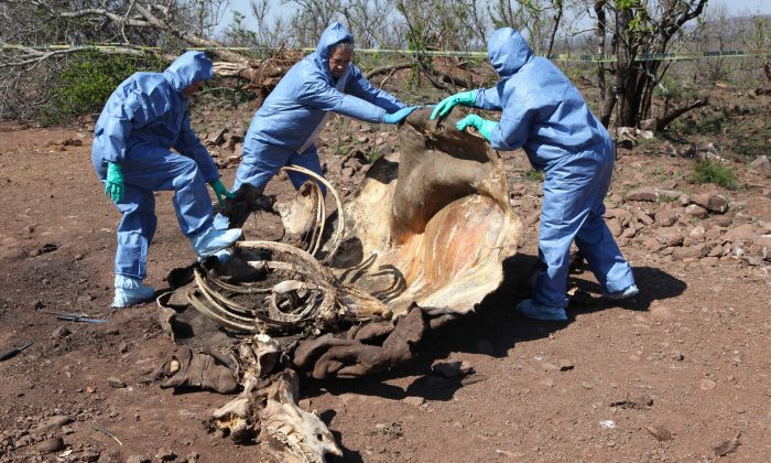 Investigators open the decomposed corpse of a poached rhino in search of forensic evidence, on the border with neighboring Mozambique near Skukuza, South Africa, on Nov. 20, 2014. South African officials said Thursday, Jan. 22, 2015, a record 1,215 rhinos were poached in 2014, a 21 percent increase over the previous year. (AP Photo/Denis Farrell)