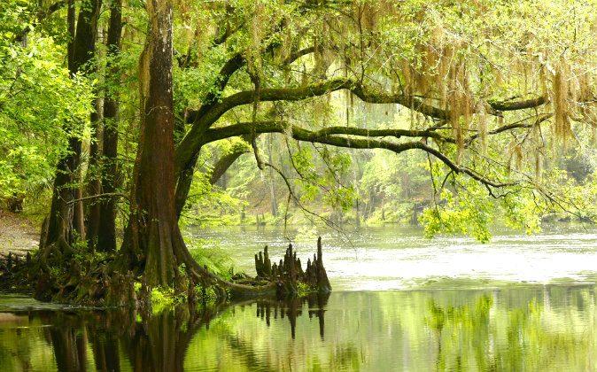 Bald Cypress Tree Overhanging River via Shutterstock*