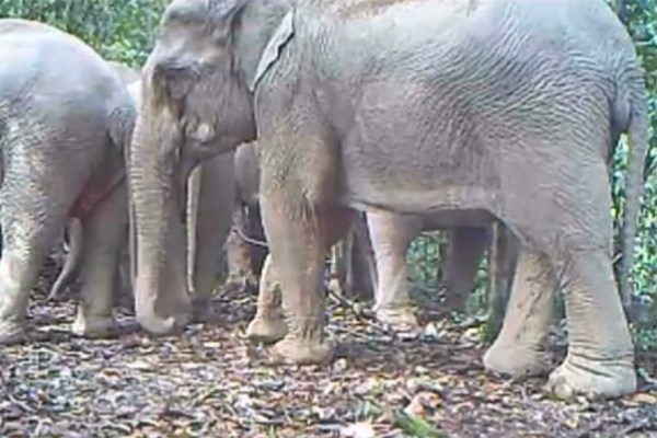 Screen shot of Asian elephants from video camera traps in Khlong Saeng Wildlife Sanctuary. Photo by: Habitat ID.