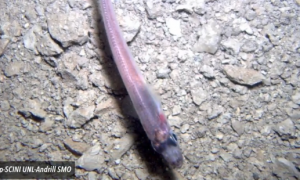 Fish Found Living Deep Below Antarctic Ice (Video)