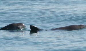 Smallest Cetacean on the Brink of Extinction in Mexico