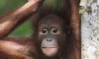 Half of Borneo's Mammals Could Lose a Third of their Habitat by 2080
