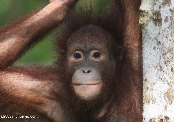 Borneo is home to many unique species, such as the endangered Bornean orangutan (Pongo pygmaeus). Photo taken in Sabah, Malaysia, by Rhett Butler.