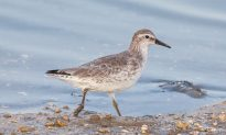 A Traveler in Trouble Gets the Protections It Needs: The Threatened Red Knot