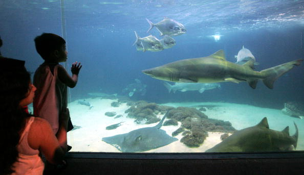 People view a shark tank at the New York Aquarium in Coney Island June 27, 2005 in the Brooklyn borough of New York City. (Photo by Mario Tama/Getty Images)