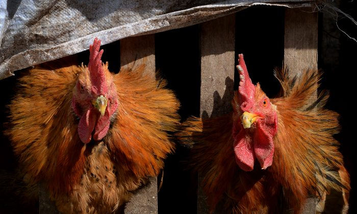 Two chickens wait in their cage after poultry markets closed due to the risk of spreading the H7N9 bird flu virus at Guiyang in Guizhou Province, on Feb. 20, 2014. So far this year China has confirmed 115 human H7N9 cases, including 25 deaths. (Mark Ralston/AFP/Getty Images)