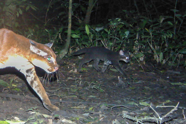 Close-up of a mother African golden cat with her kitten. Photo by: David Mills/WCS/Panthera.