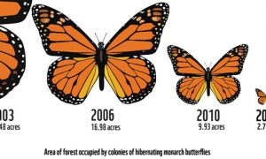 Monarch Butterfly Population Recovering, But Still in Danger