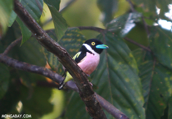 The Black-and-yellow broadbill (Eurylaimus ochromalus) is found in Myanmar, which is also known as Burma