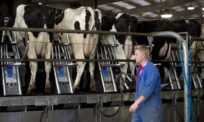 The federal government is giving dairy businesses $20,000 to upgrade their equipment. (The Canadian Press/Jonathan Hayward)