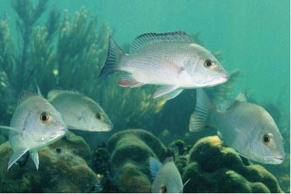 Photograph of Grey snapper (Lutjanus griseus) in a school of adults on the reef. Photo by: E. D'Alessandro.