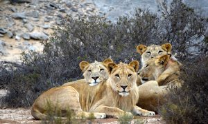 Namibia's Desert Lions