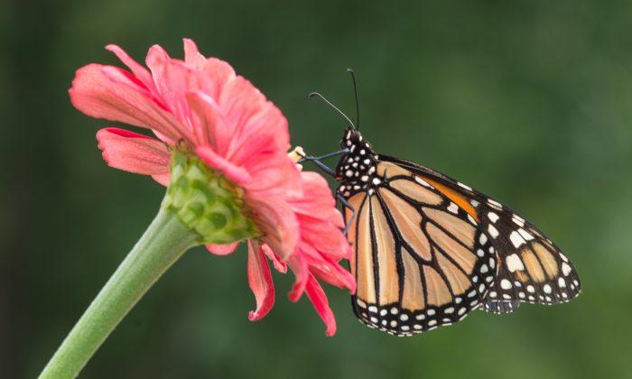 A Monarch butterfly (Danaus plexippus) on a zinnia flower in Eudora, Kan., on Aug. 10, 2014. (Cat Rooney/Epoch Times)